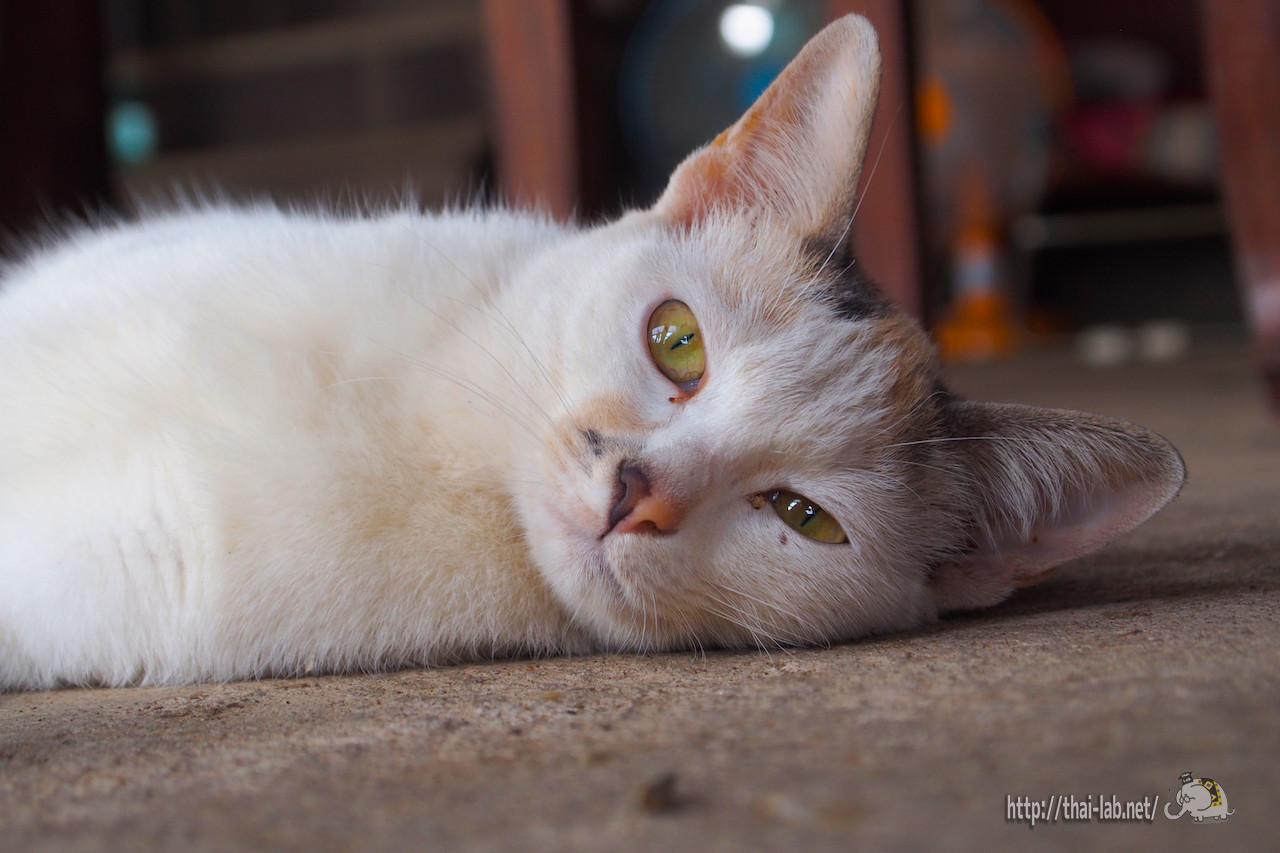 出先で見かけたタイの猫たち【ネコラボ#02】