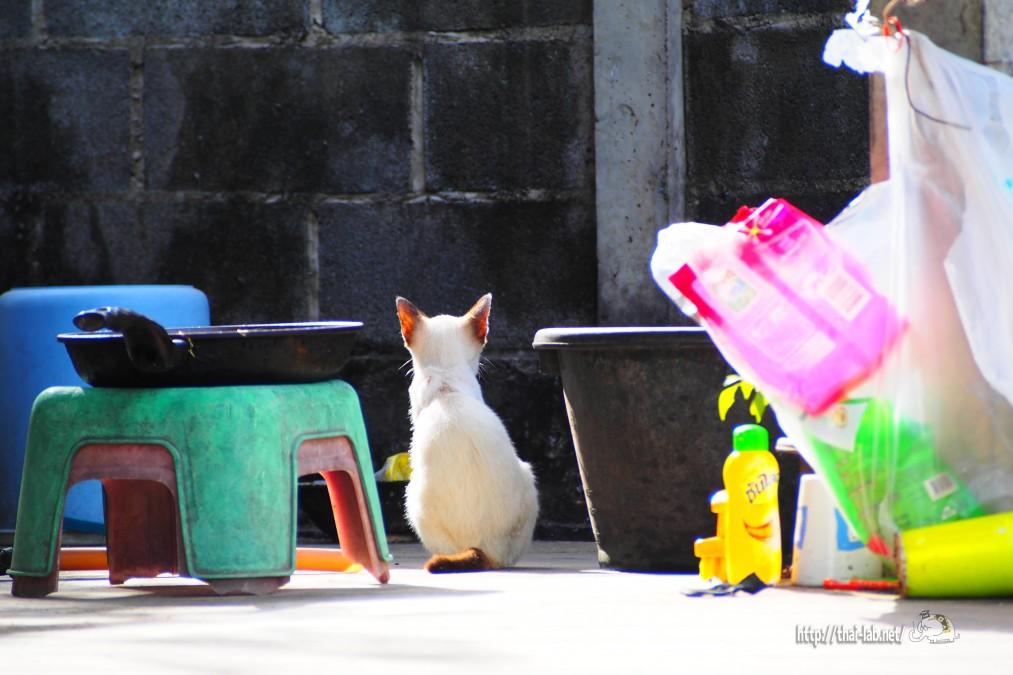 最近見かけた近所のタイネコ【ネコラボ#05】