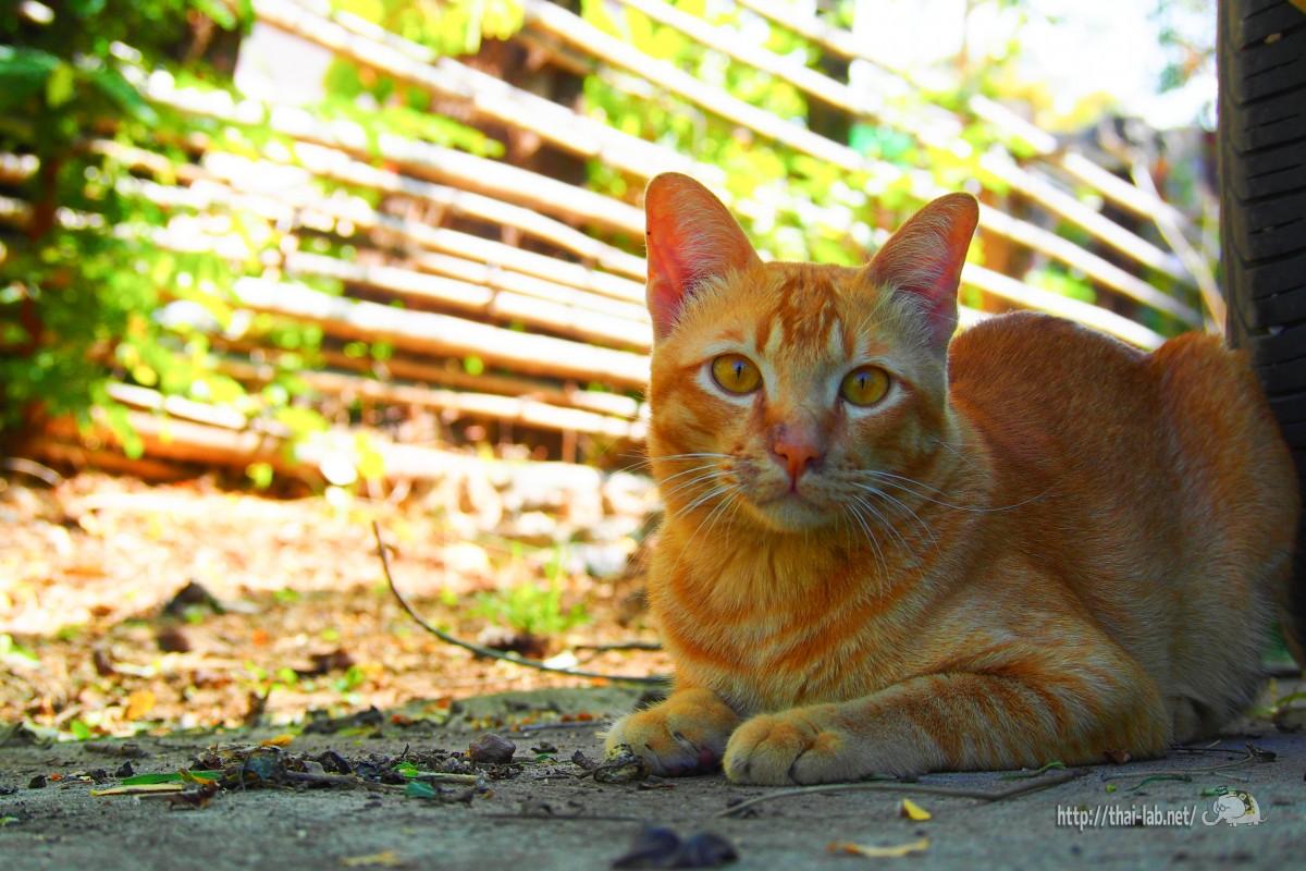 庭でじゃれるタイの猫たち【ネコラボ#13】