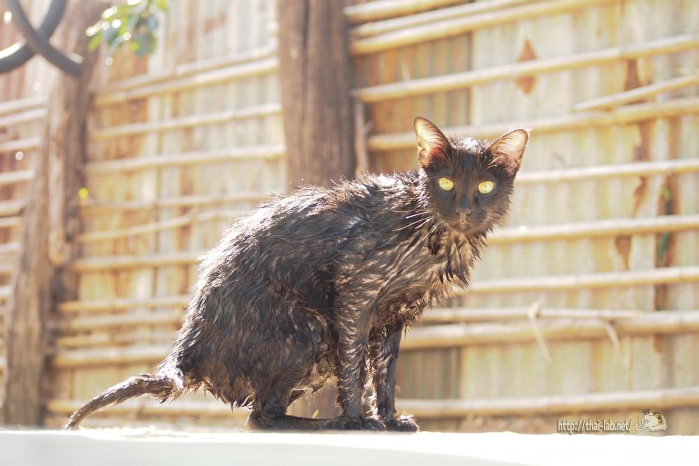 お風呂上がりの猫たち【ネコラボ#19】