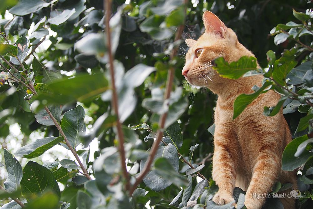木登りが大好きなタイの猫!!「ネコラボ#33」
