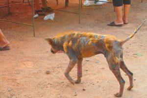 【怖すぎる…】狂犬病で死亡した水牛を食べてしまったタイの村人たち