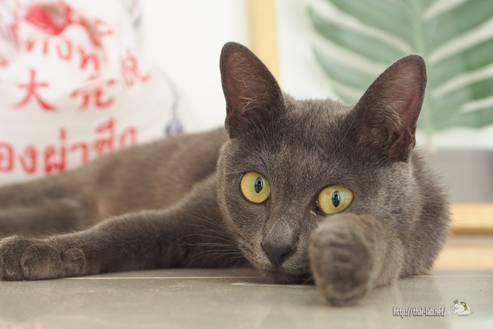 タイの高級ネコ「メーオ シーサワート」【ネコラボ#38】