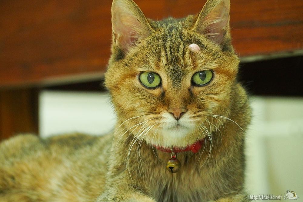 日本からタイにやって来た先輩ネコ3匹【ネコラボ#41】