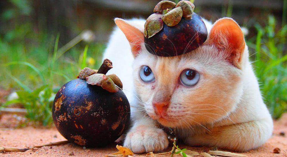 猫とマンゴスチン【ネコラボ#50】