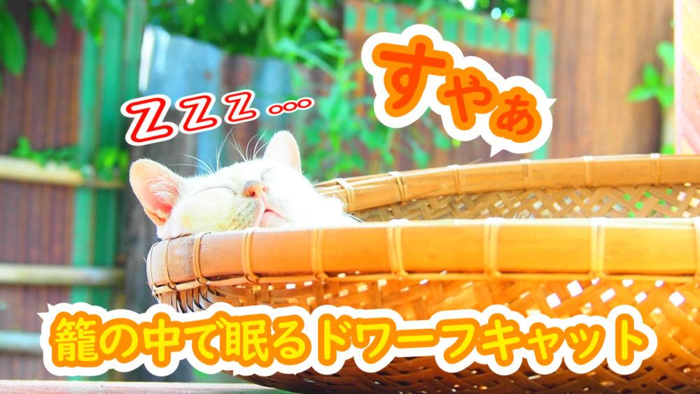 【ネコラボ#63】いつもの籠の中で眠るモチ