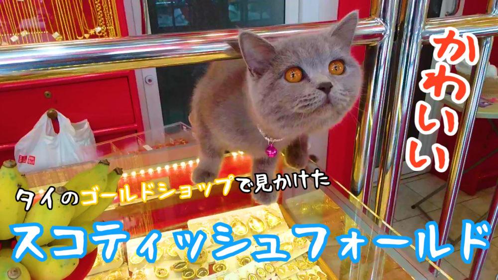 【ネコラボ#62】タイのゴールドショップで見かけたスコティッシュフォールドが可愛い!
