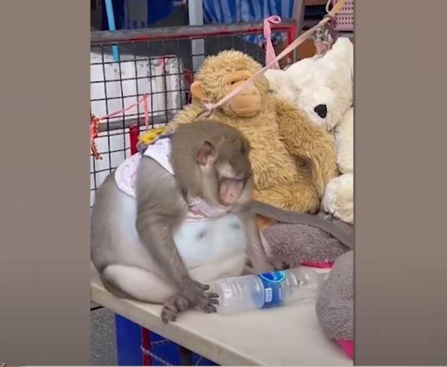 タイの「メタボ猿」再び!ゴジラと名付けられた超肥満体のサルが可愛そう…