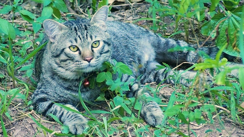 【ネコラボ#64】近所のボス猫登場!タイ猫には珍しい真ん丸顔が可愛い