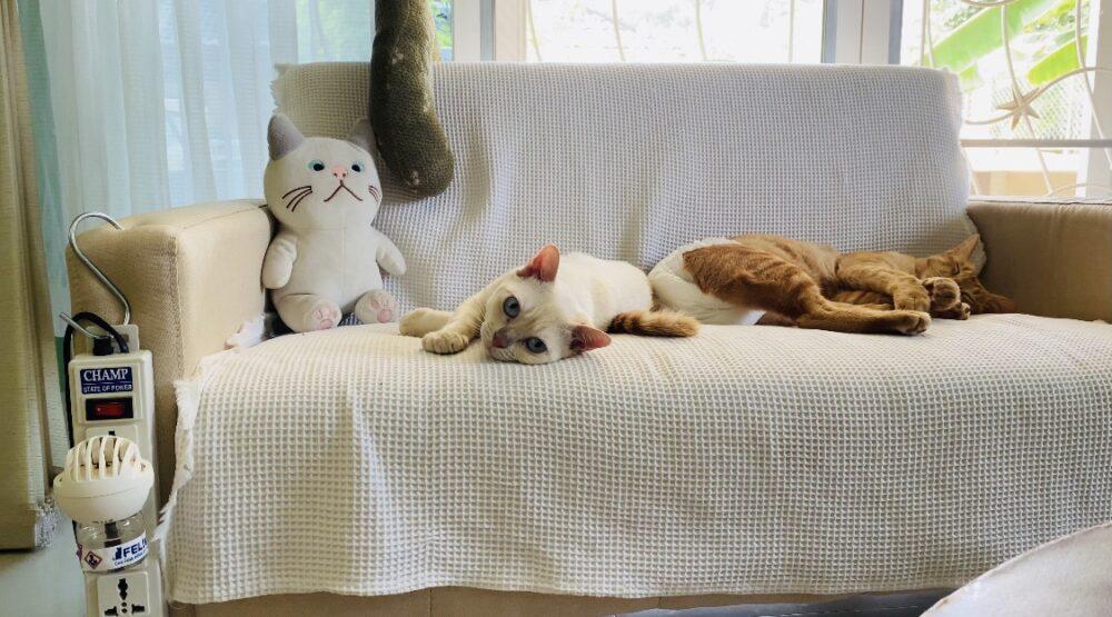 猫の尿マーキング対策に!タイでも買える「フェリウェイ:FELIWAY」を使ってみた